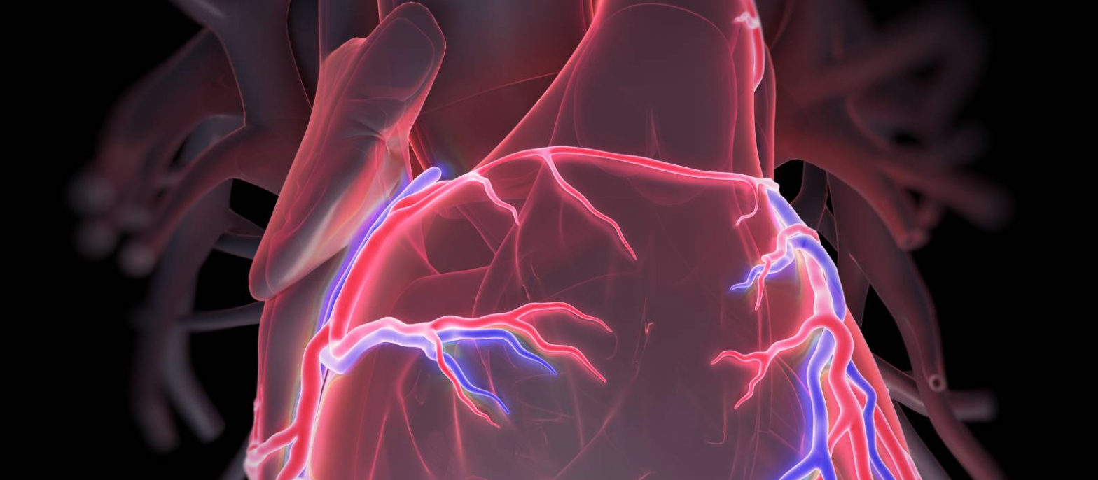 Le fonctionnement du cœur