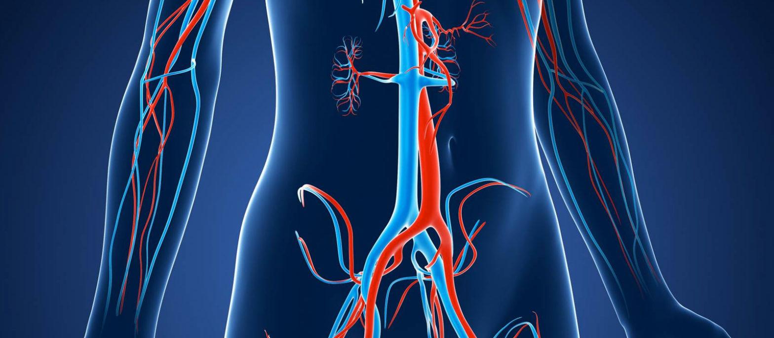 Les artères et les veines